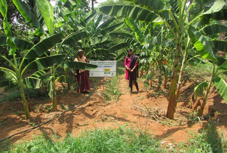 High density planting in nendran banana