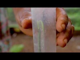 Embedded thumbnail for ദ്രുതവാട്ടത്തിനെതിരെ കുരുമുളക് തൈ ഒട്ടിച്ചു വെക്കൽ grafting in black pepper to prevent quickwilt