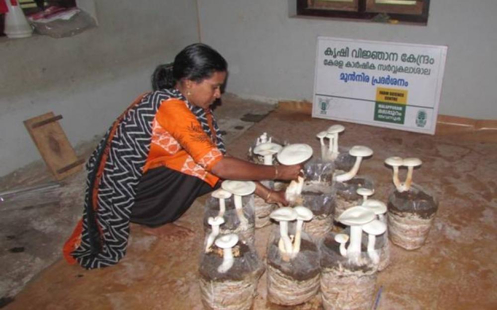 milky mushroom - Bhima