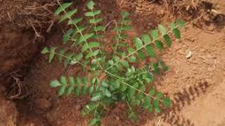 Embedded thumbnail for കറിവേപ്പില  കൃഷി  Curry leaves  cultivation