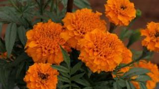Embedded thumbnail for ചെണ്ടുമല്ലി  കൃഷി   ( Marigold cultivation )